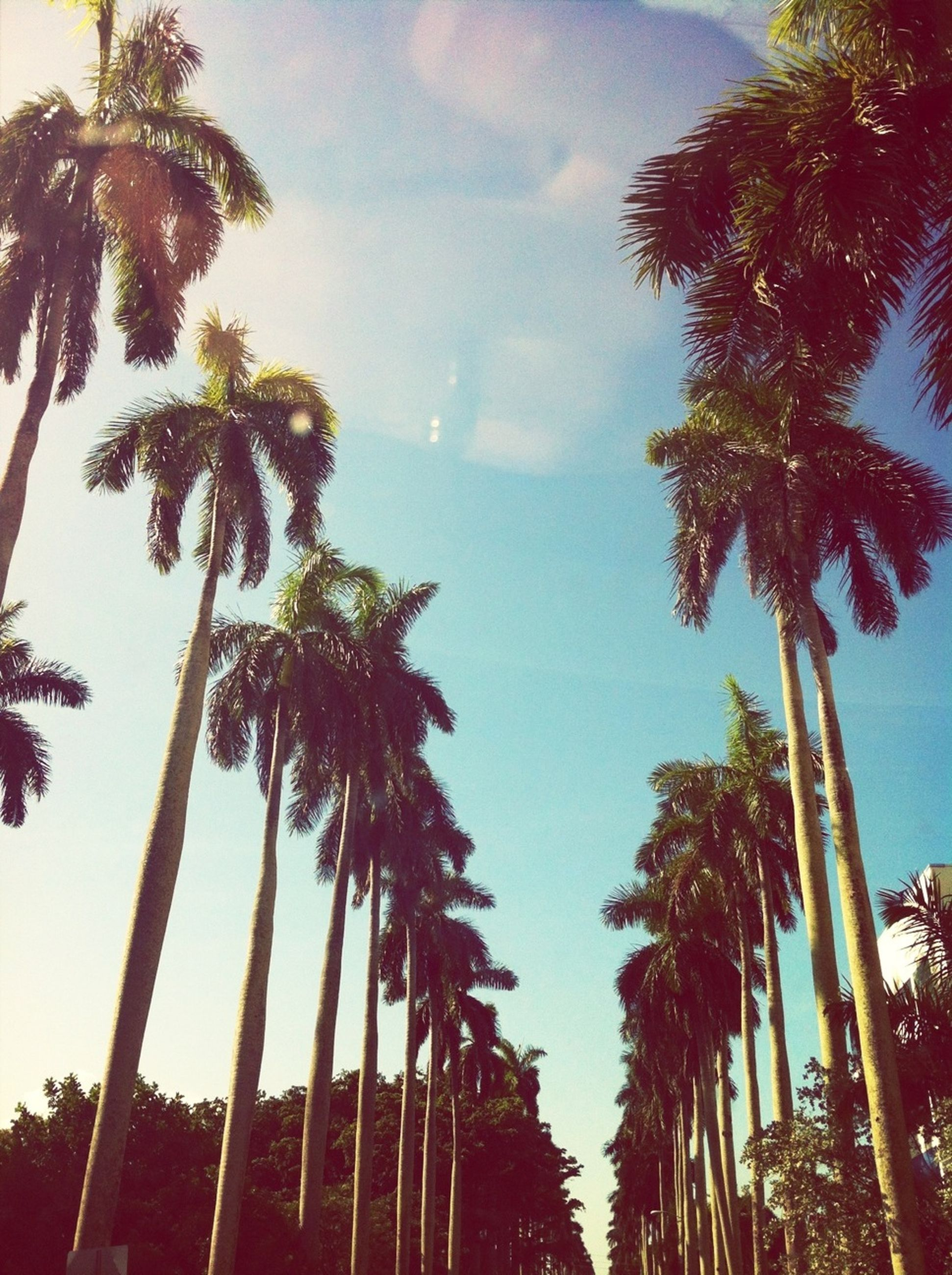 palm tree, tree, low angle view, sky, growth, coconut palm tree, tree trunk, tall - high, tranquility, beauty in nature, nature, silhouette, scenics, tranquil scene, cloud - sky, tropical tree, outdoors, no people, tropical climate, blue