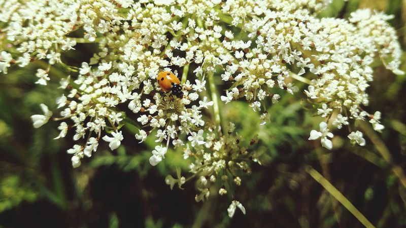 Insect Animal Themes Ladybug🐞 Ladybugs Photography Ladybug😊😊🐞🐞🐞 Beautiful Nature Beauty In Nature ❤️❤️ Sunny Day☀ Beauty In Nature Nature Close-up Animals In The Wild Flower One Animal Nature Beauty In Nature Outdoors Plant No People Fragility Growth