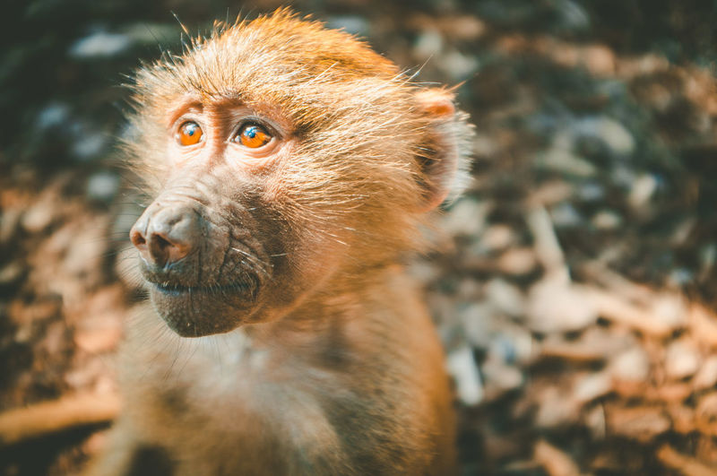 Baboon monkey in ray of light closeup portrait on blurred background Baby Copy Space Animal Baboon Baby Monkey Close-up Closeup Mammal Monkey Portrait Wildlife