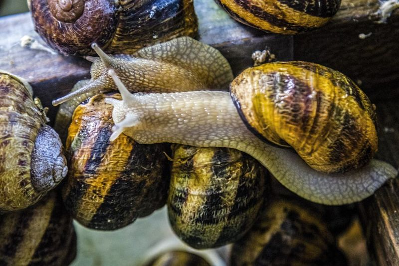 Helix Aspersa Maxima Snail African Snails Animal Shell Animal Themes Close-up Crawling Crawling Snail Focus On Foreground Gastropod Group Of Animals Molluscs Mollusk Nature No People Shell Snails
