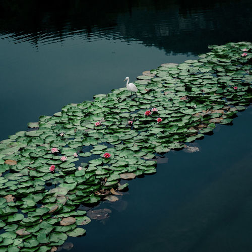 Scenic view of water lily amidst leaves in lake