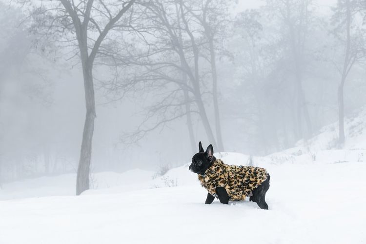 Winter Nature_collection Puppy Frenchie French Bulldog Frenchbulldog Bouledogue Francais Foggy Domestic Animals Animal Themes Animal One Animal Tree Snow Cold Temperature Warm Clothing Fog Dog Forest Pinaceae Deep Snow Canine Purebred Dog