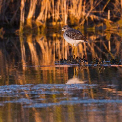 Greateryellowleg in Sunset light. Natureaddict Nature Birding Shorebird Utah Utahgram