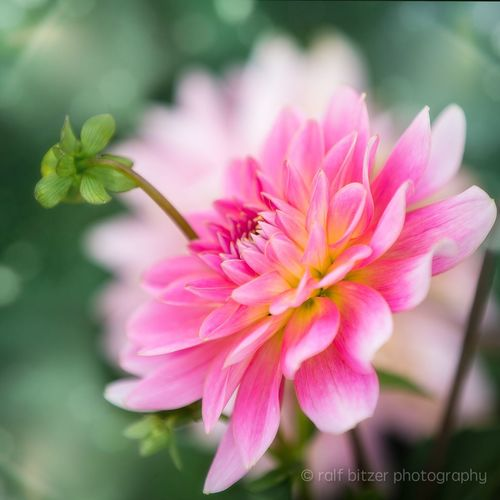 Flower Pink Color Growth Nature Petal Fragility Freshness Close-up Beauty In Nature Flower Head Plant No People Outdoors Day