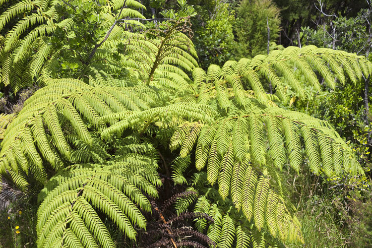 Tree Ferns - Northland, North Island, New Zealand Nature New Zealand Beauty New Zealand Scenery Overgrown Plant Tree Tree Fern Trees WoodLand Beauty In Nature Endemic Fern Ferns Flora Forest Frond High Angle View Jungle Lush Foliage New Zealand North Island Northland Treetop Vegetation Woods