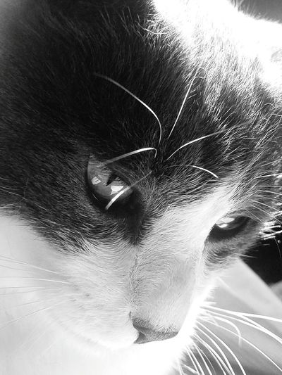 Cat Cat♡ Cat Lovers Hamlet Kitty Close Up Blackandwhite
