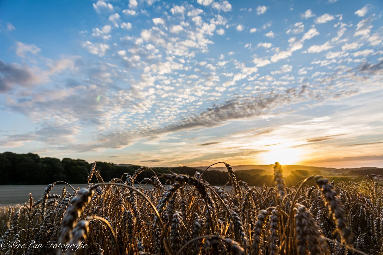 sky, field, tranquility, nature, agriculture, tranquil scene, growth, cloud - sky, rural scene, beauty in nature, scenics, sunset, landscape, no people, outdoors, day, cereal plant, hay bale