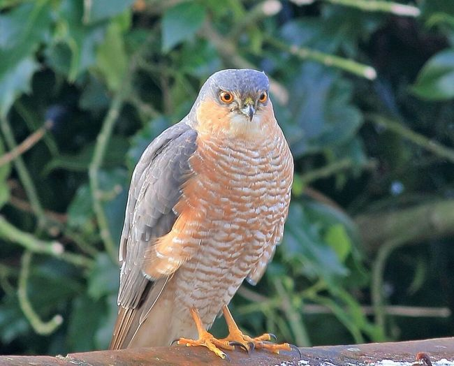 Taking Photos sparrowhawk