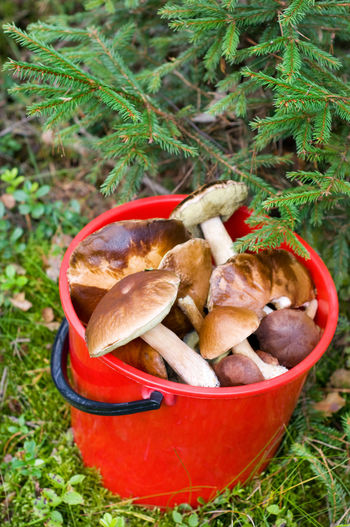 Mushroom picking in forest in Poland, Masuria district. Plenty big ripe mushrooms lying picked in red plastic bucket under spruce twigs on the ground, open air. Vertical orientation, nobody. Autumn Boletaceae Boletus Bucket Ceps Edible  Edible Mushroom Fir Food Fungus Gleaned Groundcover Mushroom Mushrooming Mushrooms Nature No People Outdoors Pick Picked Picking Seasonal Spruce Undergrowth Woods