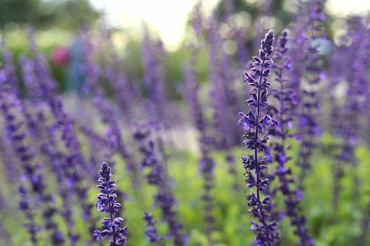 가을빛 가득 한 - 블루세이지 . . #하루한컷 #가을 #블루세이지 #허브천문공원 Perfume Flower Flower Head Aromatherapy Herb Scented Closing Herbal Medicine Beauty Purple