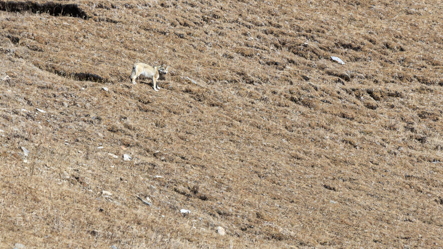 High angle view of wolf on field