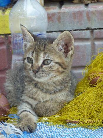 Cat Cute Feline Fishing Net Lying Down Mammal Whisker TabbyCat Tabby Kitten