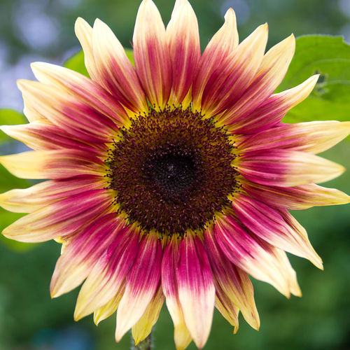 """Colorful Sunflower """"Strawberry Blonde"""" Beauty In Nature Blooming Blossom Close-up Colorful Flower Flower Head Focus On Foreground Fragility Freshness Growth Helianthus In Bloom Natural Pattern Nature Pink Color Selective Focus Summertime Sunflower Fine Art Photography"""