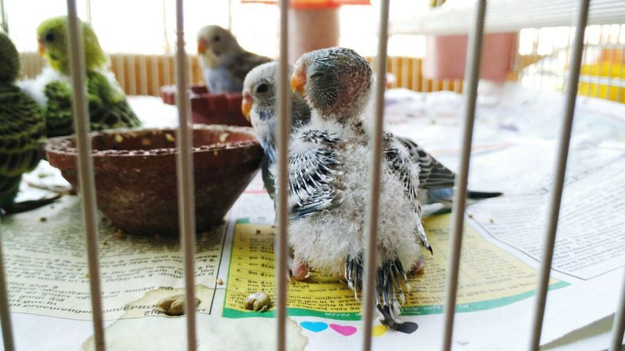 Budgerigar and young bird in cage