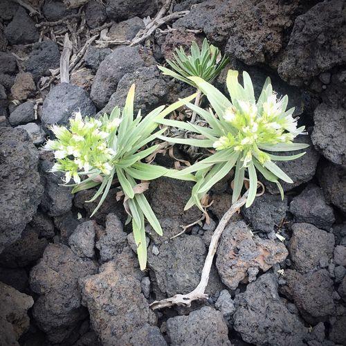 Vulkanlandschaft Blumen zwischen Steinen... La Palma, Canarias Vulkaninsel Lebena:Blumen]en Steine EyeEm Nature Lover Nature Daswasichsehe😊