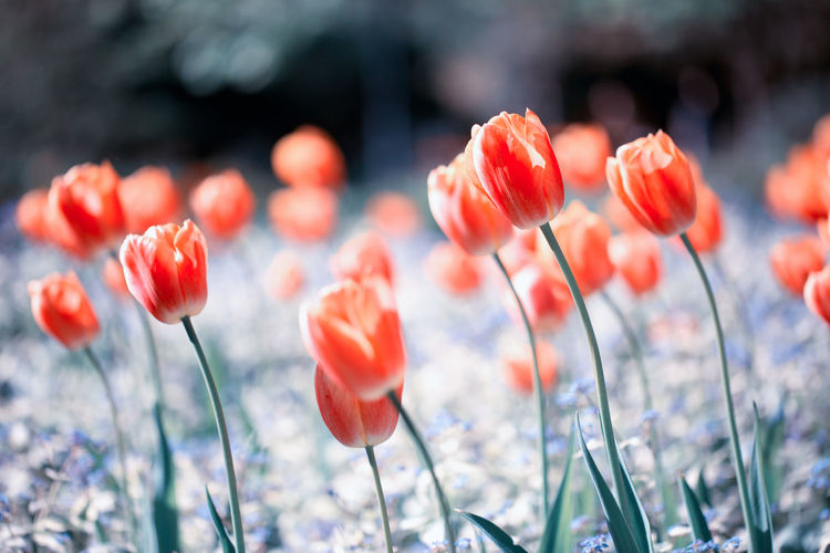 Close-up of orange tulips on a field