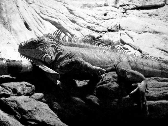 Animal Themes Animal Wildlife Animals In The Wild Black And White Blackandwhite Photography Close-up Day Iguana Mammal Nature No People One Animal Outdoors Reptile Rock - Object