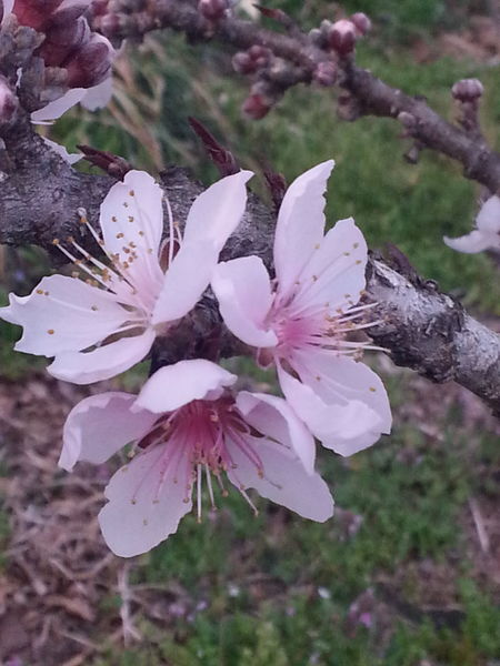 A Moment In Time Abundance Bark And Bloom Beauty In Nature Blossom Botony Christians Blooms Flower Flower Head Fragility Freshness Gods Canvas Growth In Bloom In Memory Nature Never Forgotten  Peach Blossoms Petal Pink Color Same Flower Different Colors Simple Beauty Springtime The Trinity