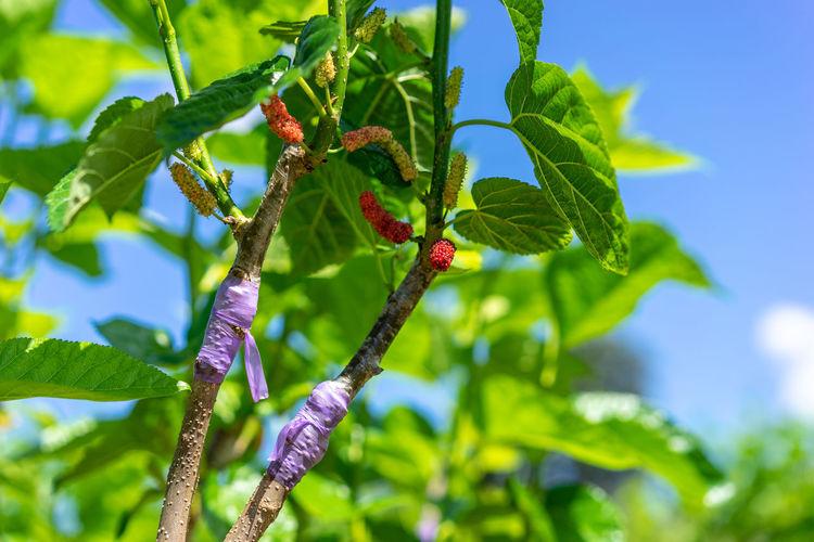mulberry graft