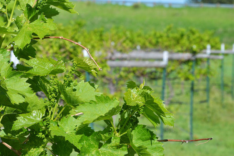 Row of grape vines Lingle Wyoming Crop  Focus On Foreground Food And Drink Green Color Growth Leaf Outdoors