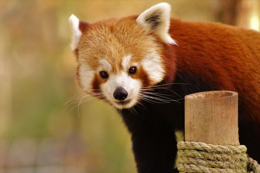 Animal Themes Animal Wildlife Animals In The Wild Close-up Day Focus On Foreground Mammal Nature No People One Animal Outdoors Portrait Red Panda Wood - Material