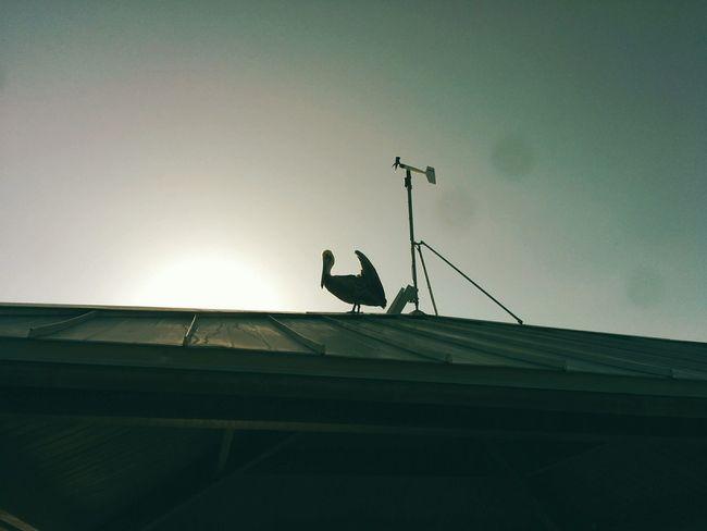 Pelican silhouette. Beach Birds