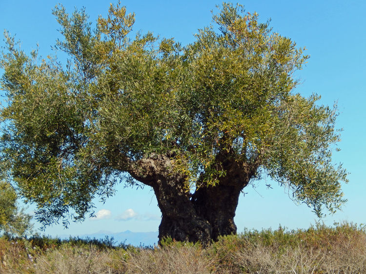 Old olive tree at Alcaidesa Golf Course, Spain Beauty In Nature Blue Sky Branch Day Green Growing Growth Lush Foliage Nature Old Olive Tree Old Olive Tree Blue Sky Olive Tree Olive Tree Blue Sky Olive Tree Landescape Olive Trees Outdoors Plant Tranquil Scene Tranquility Tree