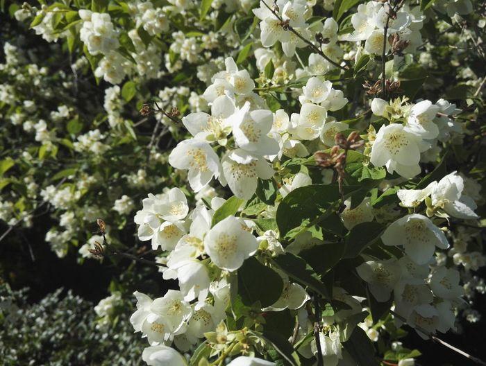 Jasmine Jasmine Flower Flowers Flower Nature Nature On Your Doorstep Natural Beauty Summer Summertime Day Daylight Wind No Edit/no Filter Showcase July