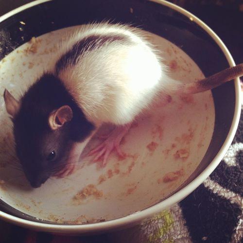 Happiness Love Oatmeal My Baby Rat Oogieboogie Pets Furbaby