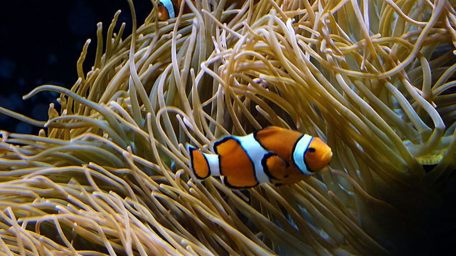 Clownfish swimming by corals in sea
