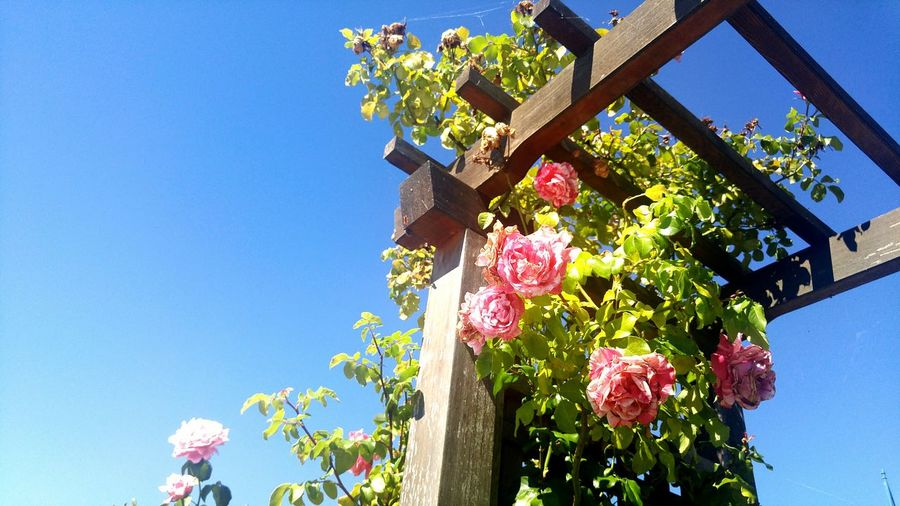 Low angle view of pink roses on wooden structure against blue sky