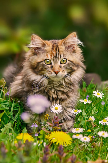 A young brown tabby Maine Coon kitten sitting in a flowery meadow in spring. Maine Shag Animal Themes Close-up Coonies Cute Cats Domestic Cat Face Feline Flowers Flowery Fluffy Garden Grass Kitten Longhaired Cats Looking At Camera Maine Coon Maine Coon Cat Nature Outdoors Pets Portrait Springtime Tabby Cat Whisker
