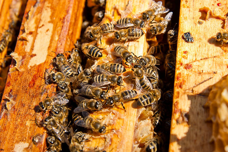 Animal Animal Themes Animal Wildlife Animals In The Wild APIculture Beauty In Nature Bee Beehive Close-up Day Group Of Animals Honey Bee Honeycomb Insect Invertebrate Large Group Of Animals Nature No People Outdoors Tree Trunk Wood - Material