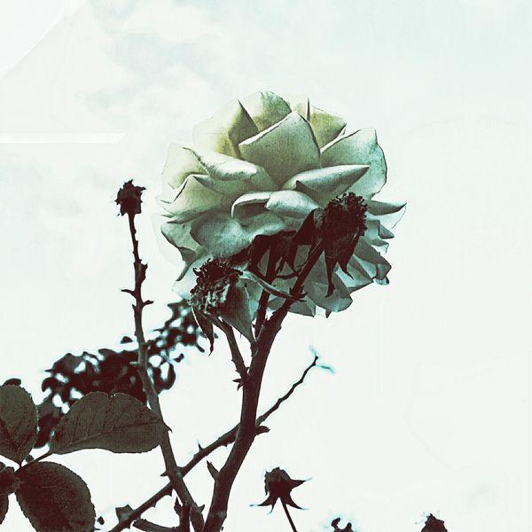 Rose🌹 Roseporn Creme Caramel Late Afternoon EyeEm Gallery EyeEm Vision EyeEm Nature Lover
