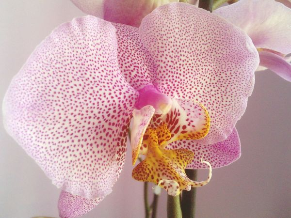 Orchid Blossom Taking Photos Flowers, Nature And Beauty Nature Pattern Close Up Photography Speckled Flower Flower Collection Orchidslover Orchid Orchidee. Phalaenopsis