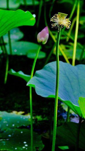 含苞欲放和凋零🥀的荷花 Plant Growth Close-up Insect Freshness