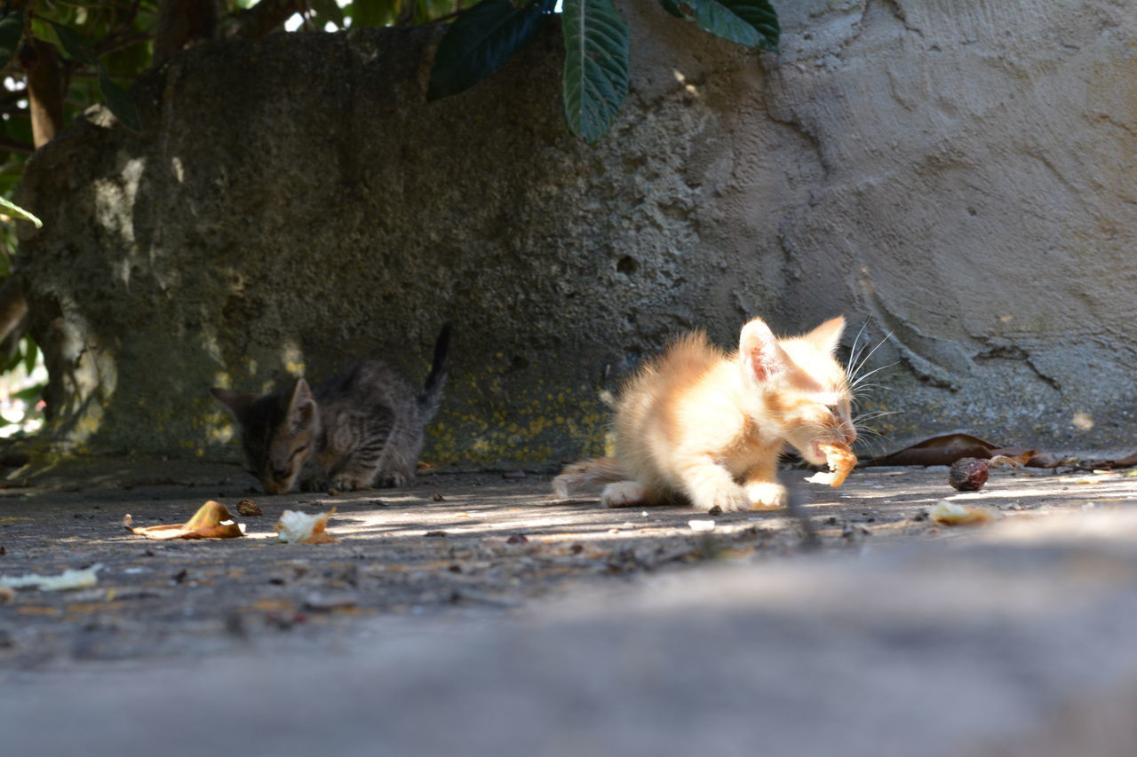 animal themes, domestic cat, mammal, domestic animals, feline, pets, no people, one animal, day, outdoors, nature, food