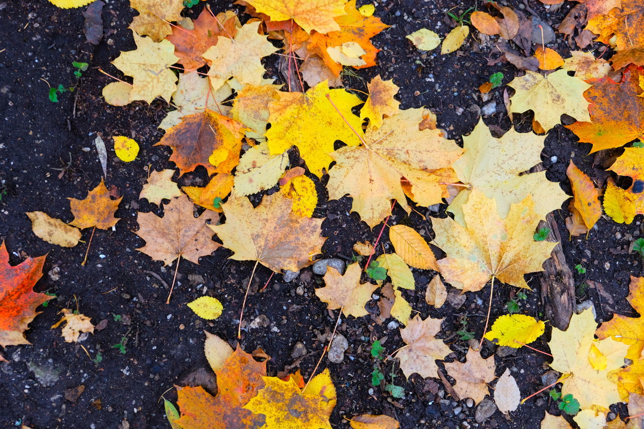 autumn, change, yellow, leaf, plant part, maple leaf, no people, close-up, leaves, day, nature, dry, beauty in nature, high angle view, falling, outdoors, full frame, backgrounds, directly above, natural condition, fall, autumn collection