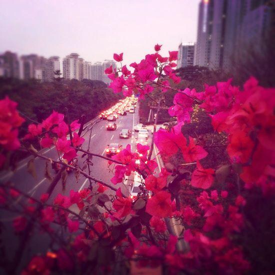 天桥上的花都开了