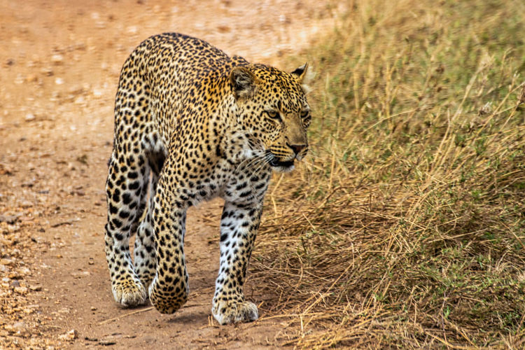 A magnificent leopard walks undisturbed in the savannah in search of a tree tanzania