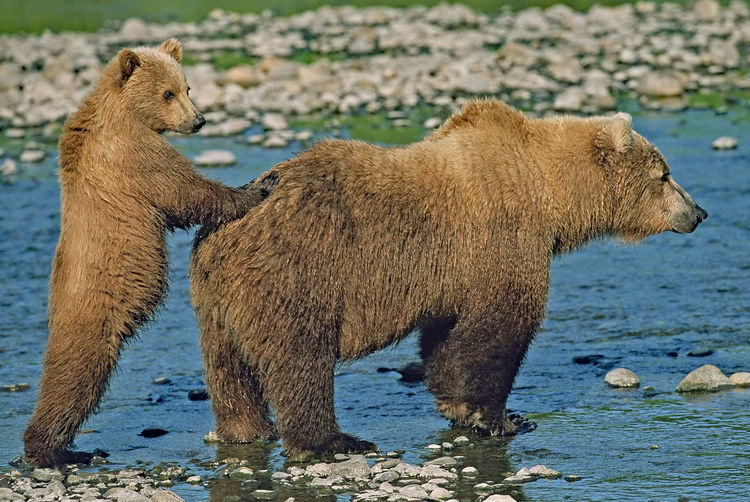 Grizzly bear with cub at stream