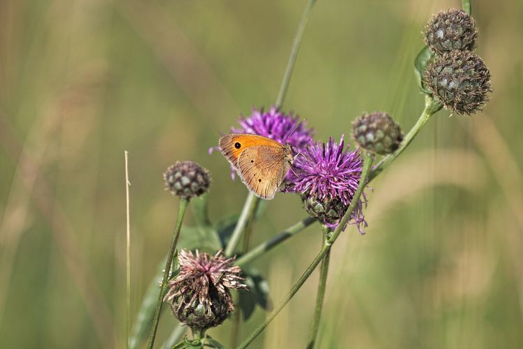 Purple Outdoors Animal Wing Focus On Foreground Flower Head Animals In The Wild Close-up Animal Themes Animal Wildlife Insect Flower Vulnerability  Fragility Animal Beauty In Nature Butterfly - Insect Petal Freshness One Animal Meadow Meadow Flowers Flower Collection Flower Photography Natural Beauty Beautiful Beautiful Nature Scenics - Nature Beauty In Ordinary Things Animal Photography Insect Photography Lovely Cute Nature Lover EyeEm Nature Lover Eye4photography  Snapshots of Life Snapshot Walking Around Taking Pictures Insect Paparazzi EyeEm Gallery Flowers, Nature And Beauty Flowers Fieldscape