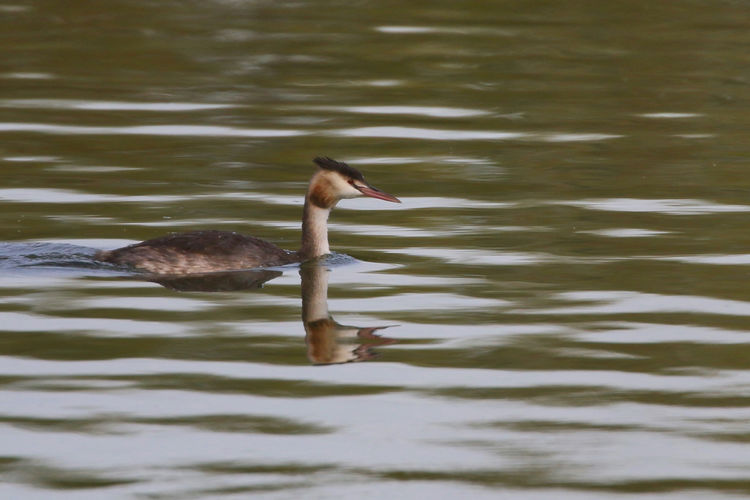 Great Crested Grebe Animal Animal Family Animal Themes Animal Wildlife Animals In The Wild Bird Day Duck Lake Motion Nature No People One Animal Poultry Rippled Swimming Vertebrate Water Water Bird Waterfront