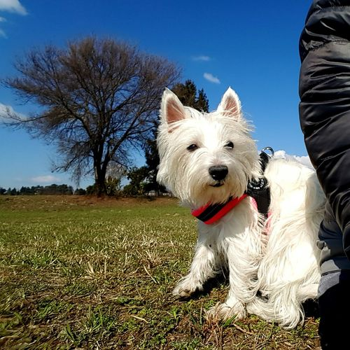 Dog Pets West Highland White Terrier Outdoors Nature Walking Around The City  Into The Wind