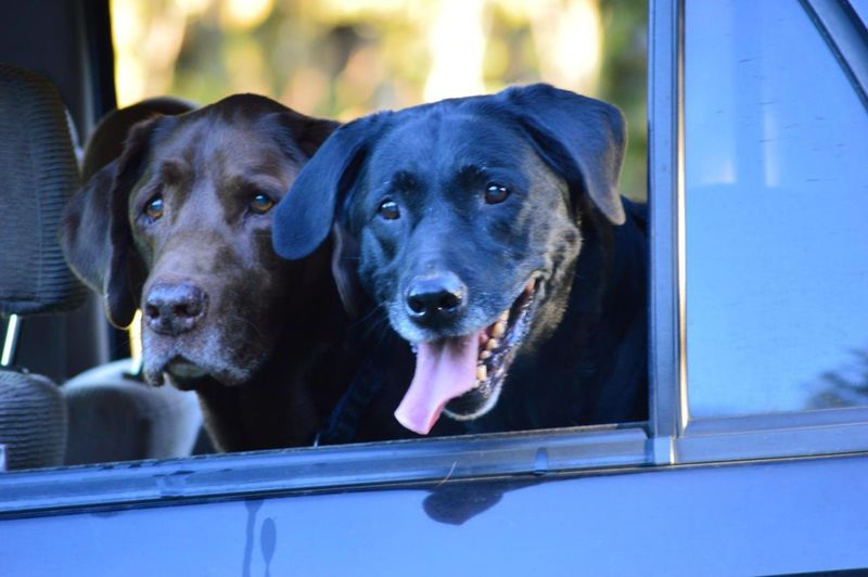 Close-up of labrador retrievers in car
