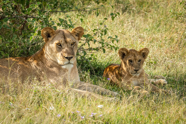 Lioness with cub resting on field