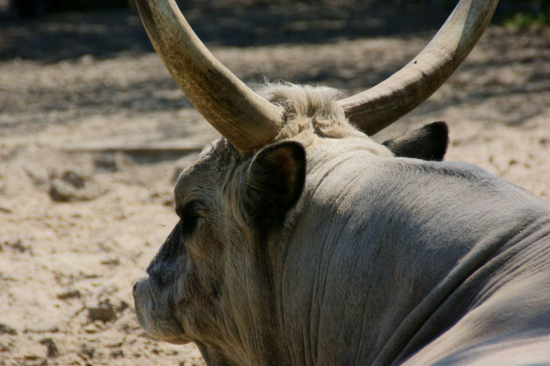 Close-up of a horned animal on the field