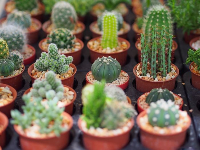 Succulent Plant Potted Plant Cactus Growth Green Color Plant No People Freshness Beauty In Nature In A Row High Angle View Close-up Selective Focus Day Thorn Plant Nursery Nature Botany Arrangement Full Frame