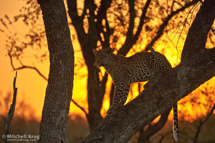 Leopard Sunset - Sabi Sands, South Africa Leopard Wildlife Sabi Sands Sunset #sun #clouds #skylovers #sky #nature #beautifulinnature #naturalbeauty #photography #landscape Sunset_collection Sunset Wildlife & Nature Cat Lovers Cats Sunset Silhouettes Krugerpark Krugernationalpark Animals In The Wild