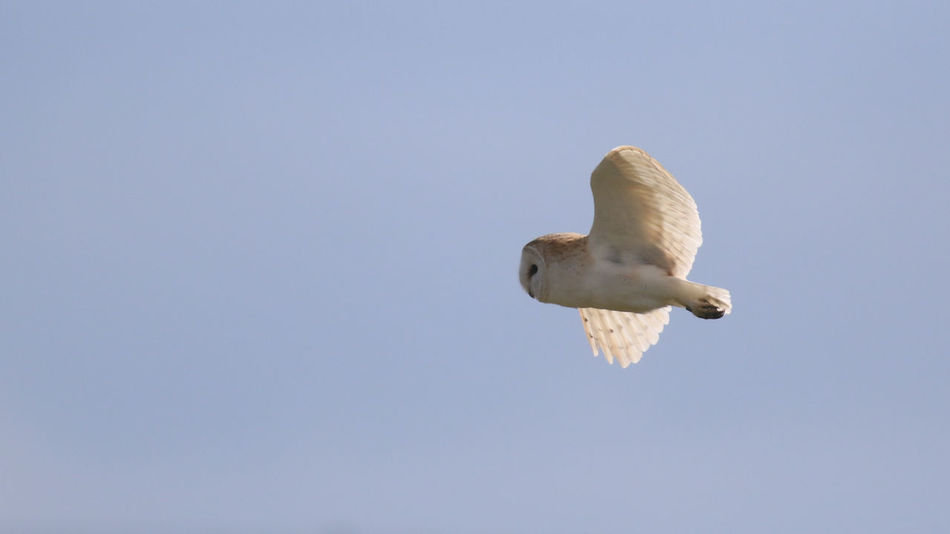 Aves Bird Photography Birds Of EyeEm  Animal Wildlife Barn Owl Bird Bird Of Prey Flying Mid-air Owls Oxfordshire Spread Wings